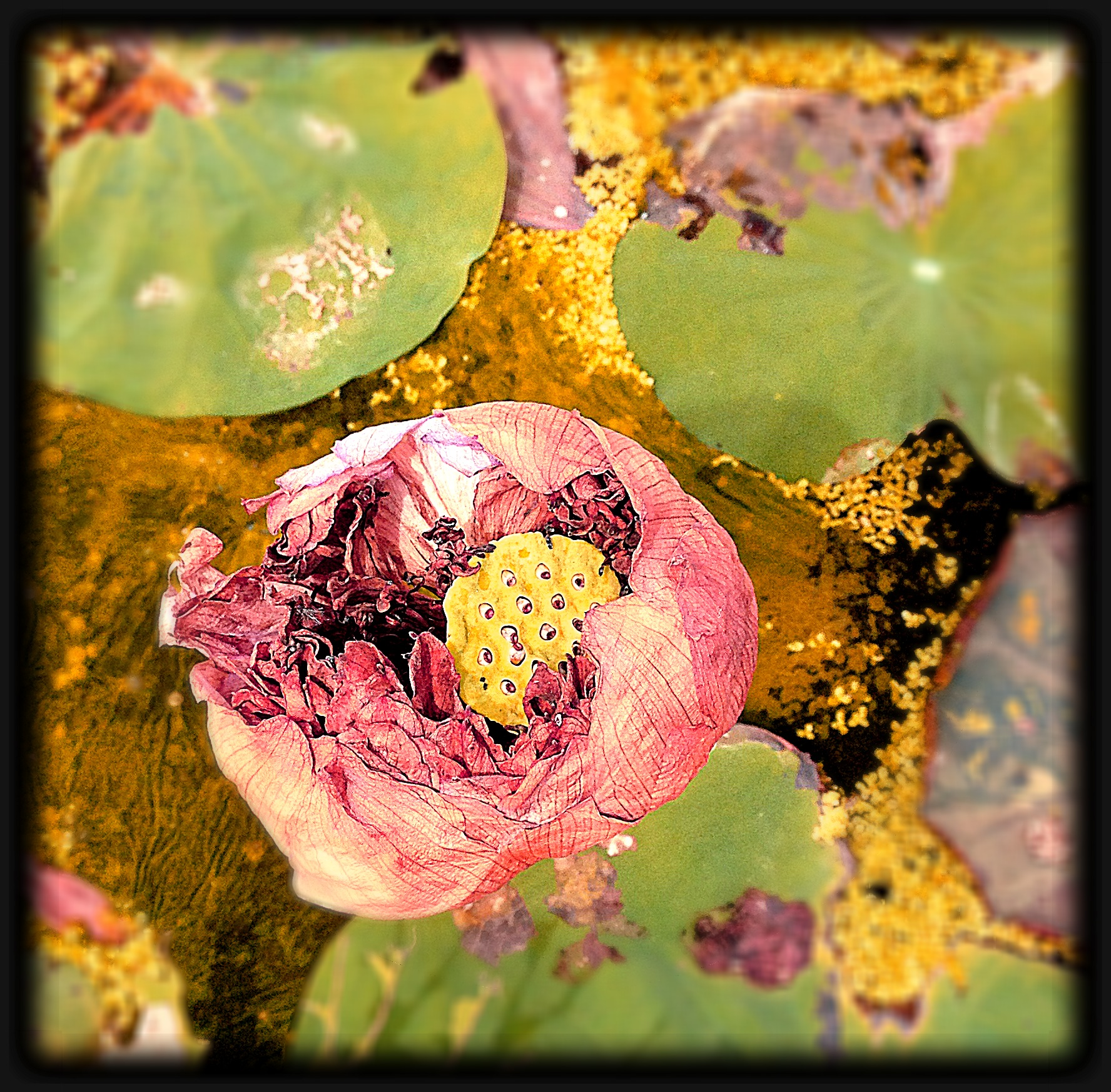 Two more stages of the lotus life global nomads 2010 lotus and the lotus flowers around my office do not want to play along i have two more stages at the end of the life cycles decay and rebirth mightylinksfo