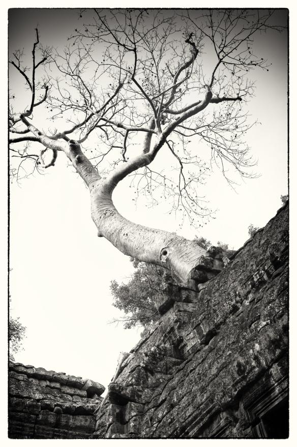 TaPhrom-Tree