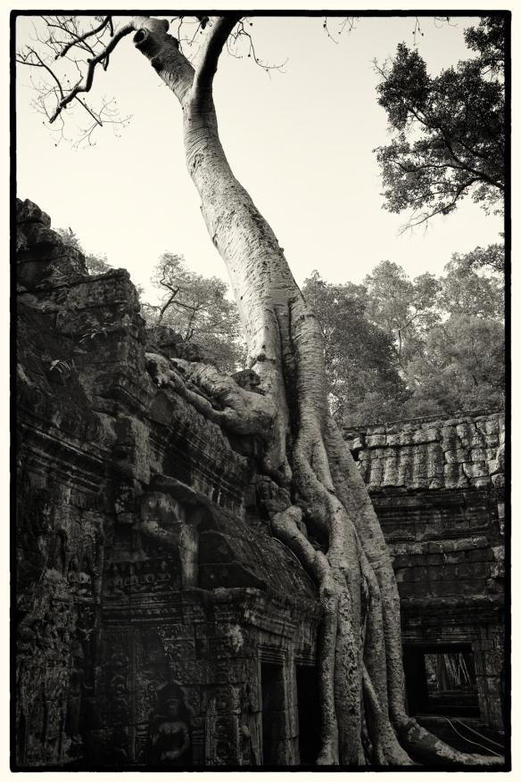 TaPhrom-Tree2
