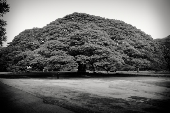 giantraintree2bw